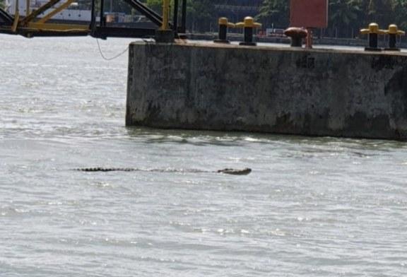Nelayan diminta waspadai kemunculan buaya di perairan Cilacap